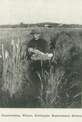 Crossbreeding wheat, Rutherglen Experimental Station, 1918