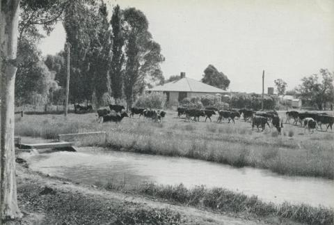 Dairy Farm at Tongala, 1964
