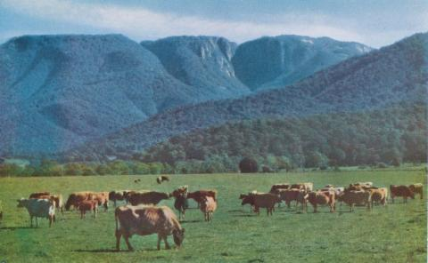 Lauriston Dairy Herd, Buckland Valley, Mount Buffalo in the background, c1960