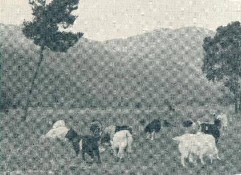 Grazing fields surrounded by pine forest, Bright, 1951