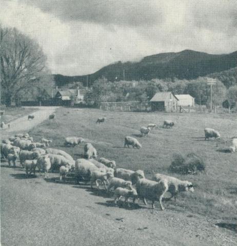 Grazing fields, Myrtleford, 1951