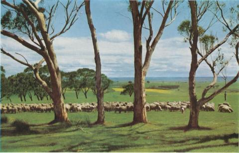 Sheep at pasture, Meredith, 1958