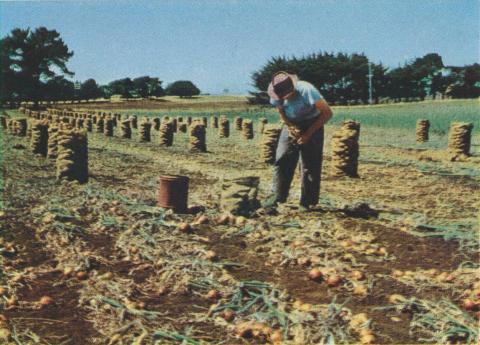 Onion Harvest, Koroit, 1958