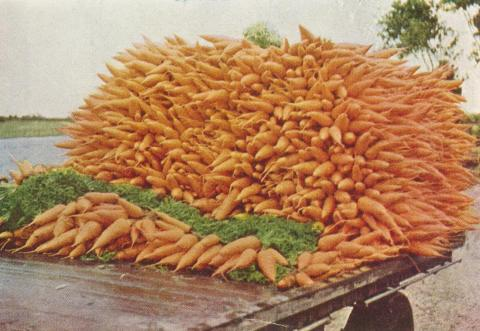 Carrots for the market, Dingley, 1955