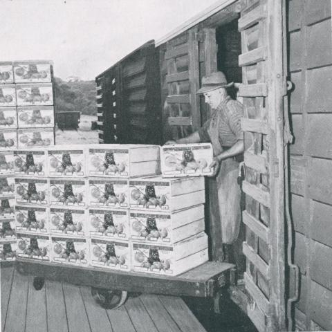 Loading apples into rail truck, Red Hill, 1955
