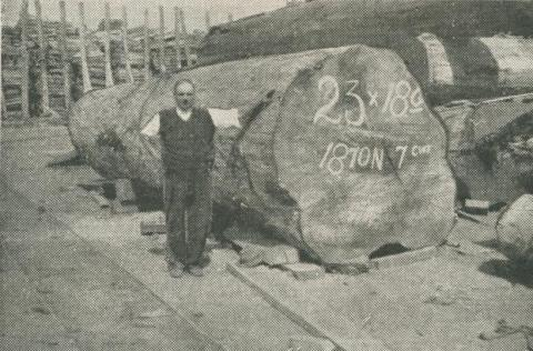 A big log from Noojee, 1950