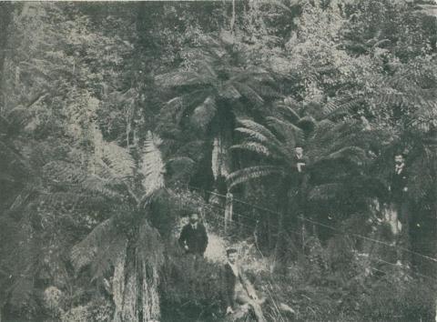 Fern Gully, Beech Forest, 1911