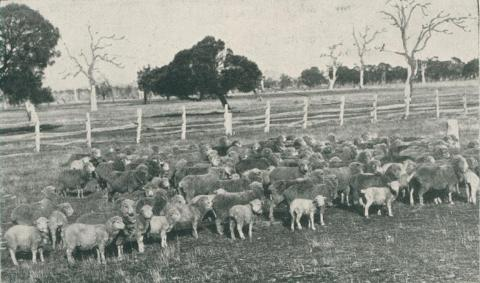 Stud Merinos, Staughton Vale Estate, 1911