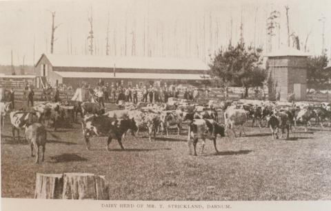 Mr Strickland's dairy herd, Darnum, 1909