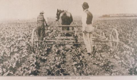Horse hoeing beet crop at Maffra, 1911