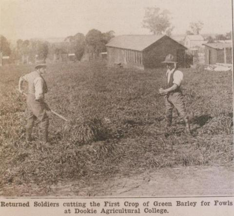 Returned soldiers cutting green barley, Dookie Agricultural College, 1918