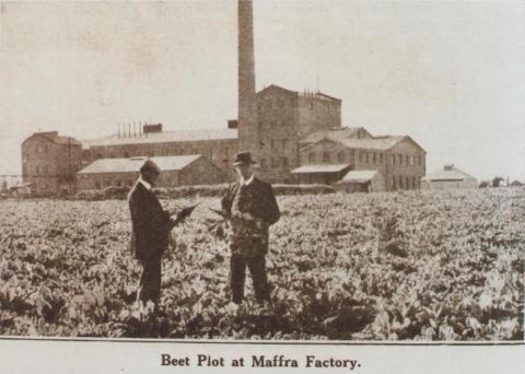 Beet plot at Maffra factory, 1920