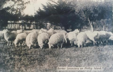 Border Leicesters on Phillip Island, 1940