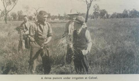 Pasture under irrigation at Calivel, Pyramid Hill, 1947