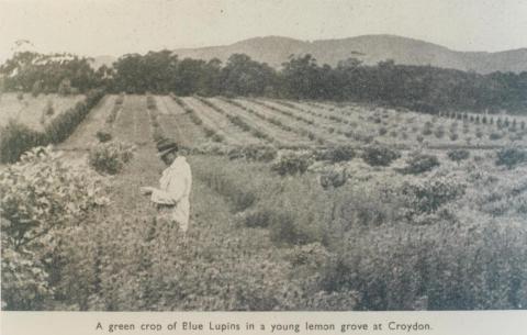 Crop of Blue Lupins in lemon grove, Croydon, 1943