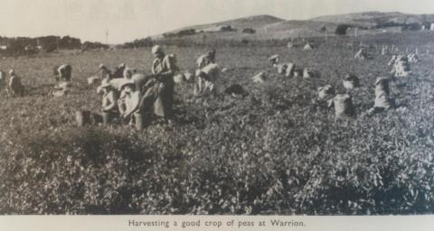 Harvesting peas, Warrion, 1963