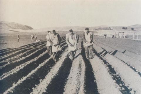 Onion planting, Alvie, 1956