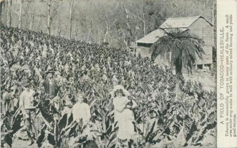A field of tobacco, Healesville, 1908