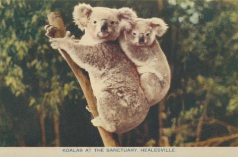 Koalas at the Sanctuary, Healesville