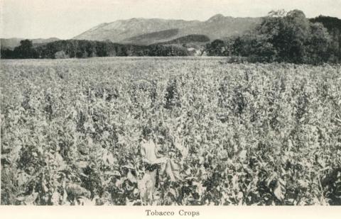 Tobacco Crops, Myrtleford