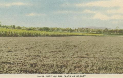 Maize Crop on the Flats at Orbost, 1948