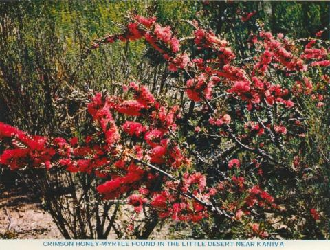 Crimson Honey-Myrtle found in the Little Dersert near Kaniva