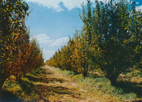 Fruit Trees at a Shepparton Orchard