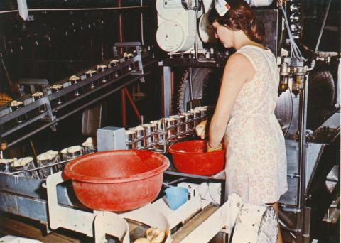 The canning process of pears at S.P.C., Shepparton