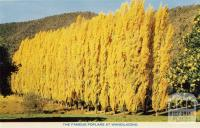 The famous poplars at Wandiligong