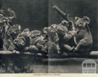 Australian native bears (Koalas), Cowes