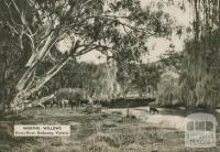 Weeping willows, Kiewa River, Dederang, 1954