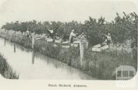 Peach orchard, Ardmona, 1918