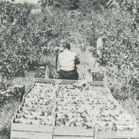 Apple Orchards, Bacchus Marsh, 1968