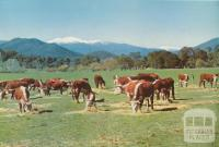 Hereford cattle brought down from the Alpine leases, Bright, c1960