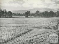 Tobacco cultivation in the Ovens Valley, c1960