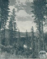Pine Forest, Bright, 1951