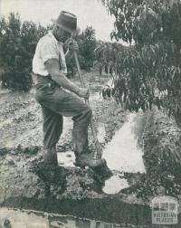 Kyabram orchardist, 1952