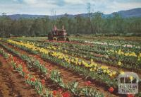 Tulip Farm, Monbulk, 1958