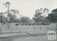 Hereford cattle, Konongwootong, 1958