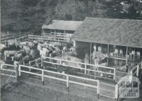 Milking sheds, Cudgee, 1958