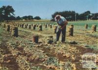 Onion Harvest, Koroit, 1958