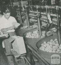 Grading pears, Tyabb, 1955
