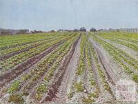 Lettuce cultivation, Braeside, 1955