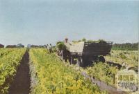 Loading celery, Keysborough, 1955