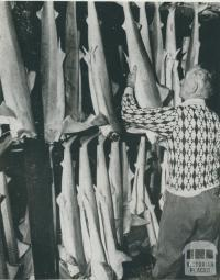 Gummy shark in the freezing  chamber, Port Albert, 1955