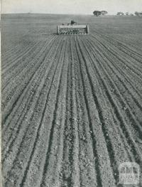 Sowing a wheat crop, Rupanyup, 1955
