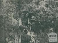 Fern Gully, Beech Forest, 1911