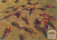 Rosella parrots, a common sight in the Wilson's Promontory National Park