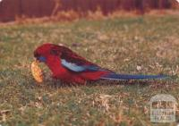 Crimson Rosellas feeding at Tidal River, Wilson's Promontory