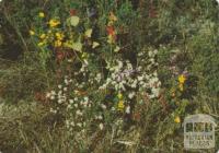 Wildflowers, Wilson's Promontory